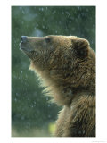 Grizzly Bear  Portrait  USA