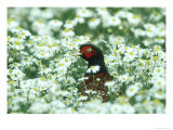 Pheasant  Male in Mayweed  UK