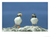Puffin  Pair on Rock  Scotland