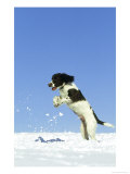 Springer Spaniel (4 Months Old) Jumping in Air to Catch Snow  February  Scotland
