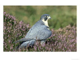 Peregrine Falcon on Heather in Flower  UK