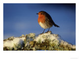 Robin  Perched on Branch in Snow  Scotland  UK