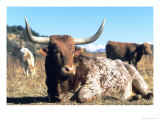 Texas Longhorn  Resting  Colorado  USA
