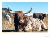 Texas Longhorn  Resting  Colorado  USA