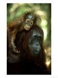 Orangutan, Female and Young, Borneo Papier Photo par Mike Hill
