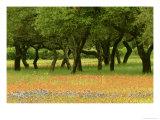 Live Oaks  with Texas Paintbrush Castilleja Indivisa  Bluebonnets Lupinus Texensis Beneath