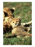 Cheetah  Acinonyx Jubatus Cub Masai Mara Gr  Kenya