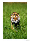 Bengal Tiger  Panthera Tigris Tigris