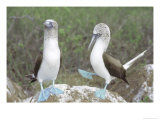 Blue Footed Booby  Elaborate Courtship Dance  Galapagos