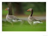 Greylag Goose  Pair of Greylag Geese Side-By-Side in Green Haze of Vegetation  London  Britain