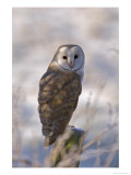 Barn Owl  Full-Frame Portrait of Barn Owl Perched on Fence Post  Lancashire  UK
