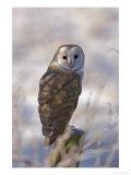 Barn Owl  Full-Frame Portrait of Barn Owl Perched on Fence Post  Lancashire  UK