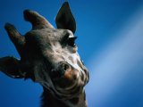 Close Up of a Giraffe's Head (Giraffa Camelopardalis)  Tanzania  Africa
