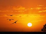 Frigate Birds Soaring at Sunrise  Cayos Cochinos  Islas De La Bahia  Honduras