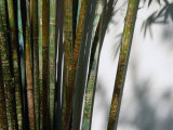 Bamboo Plants at Chinese Friendship Gardens  Darling Harbour Sydney  New South Wales  Australia