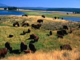 Bison (Bison Bison) Herd in Hayden Valley  Yellowstone National Park  Wyoming  USA