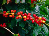 "The Red Coffee ""Cherry "" Arabica Typica  Honaunau  Hawaii (Big Island)  Hawaii  USA"