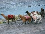 Llamas and Their Handler Walking and Carrying Goods  Puno  Peru