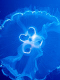 Moon Jelly Fish (Aurelia Aurita)  Belize