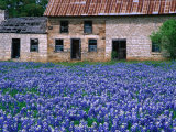 Field of Blubonnets  Marble Hill Area  Texas  USA