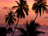 Coconut Trees at Dusk  French Polynesia