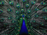 Peacock in Full Display  Quito  Pichincha  Ecuador