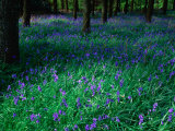 Bluebell (Nemophila) in Woodland at Baronscourt  Tyrone  Northern Ireland