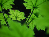 Water Drops on Leaves  Tongass National Forest  Baronof Island  Alaska  USA