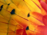 Detail of Macaw Feathers from the Tambopata Candamo National Park  Amazonas  Peru
