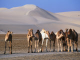 Wild Camels and Sand Dunes in Empty Southeast Quarter of Qatar  Jarayan Al Batnah  Qatar
