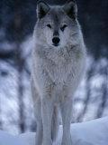 Grey or Timber Wolf (Canis Lupus) in the Alaskan Snow, Alaska, USA Papier Photo par Mark Newman