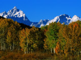 Autumn Colours of Trees with Snow Capped Mountains in Distance  Grand Teton National Park  USA