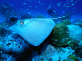 Stingray off the Florida Coast  Florida  USA