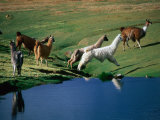 Llamas Leaping Over Spring Fed Water  Volcan Isluga National Park  Chile