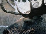 Bull Moose  Denali National Park & Preserve  Alaska  USA