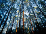 Mountain Ash Forest in Black Spur  Australia