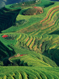 Landscape of Rice Terraces with Red Peppers Drying in Long Ji  Guangxi  China