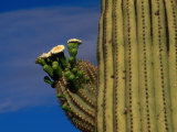 Flowering Saguaro Cactus in the Sonoran Desert  California  USA