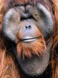Orangutan (Pongo Pygmaeus)  Indonesia