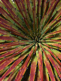 Detail of Spiky-Leafed Puya (Bromeliad)  Cajas National Park  Azuay  Ecuador