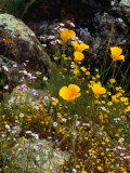 Yellow California Poppy in the North Coast Range of California  California  USA