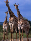 Giraffe Family  Kruger National Park  Kruger National Park  Mpumalanga  South Africa
