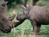 White Rhinceros with Young  Tala Private Game Reserve  Kwazulu-Natal  South Africa