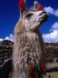 Decorated Llama  Cuzco  Peru