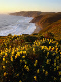 Yellow Lupine on Mcclure&#39;s Beach in Marin County  Point Reyes National Seashore  California  USA