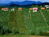 Vineyards in Zagorte Region  Croatia