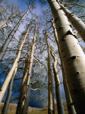 Aspen Trees in Spring  Utah  Utah  USA