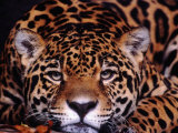 Portrait of a Jaguar  Brazil