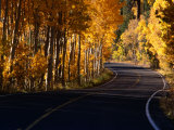 Aspens in Autumn on Road Around June Lake Loop  Eastern Sierra Nevada  June Lake  USA