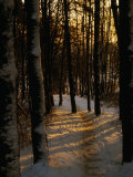 Snow-Covered Trees in Forest  Early Evening  Lithuania